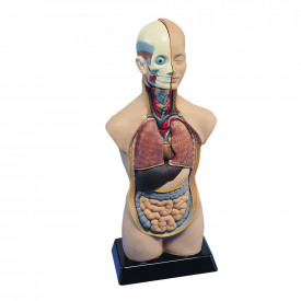 Anatomical Torso