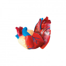Cross Section Human Heart Model