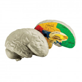 Cross Section Brain Model